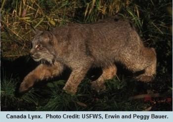 03 Equinox Canada Lynx
