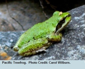 03 Equinox Pacific Treefrog