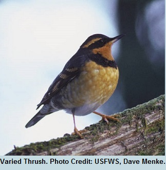 03 Equinox Varied Thrush