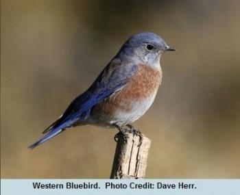 03 Equinox Western Bluebird