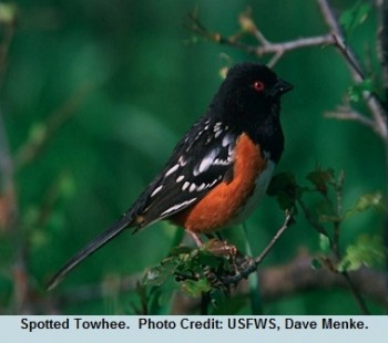 04 Early Spotted Towhee