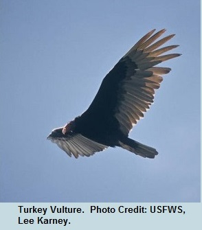 04 Early Turkey Vulture