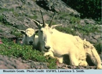 05 End Mountain Goat