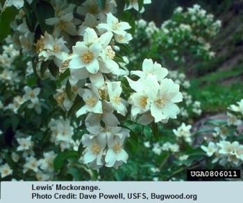 06 End Mockorange