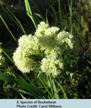 07 Early Eriogonum