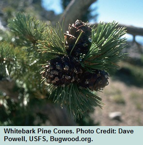 09 Early Pinalb Cones