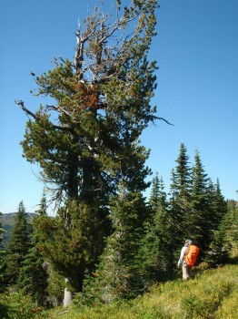 A massive Whitebark Pine on the slopes of Scotchman's Peak