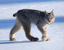 220px-Canadian_lynx_by_Keith_Williams