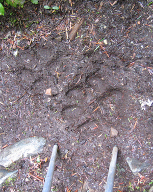 Pointing to two sets of wolf tracks in the main fork of Ross Creek