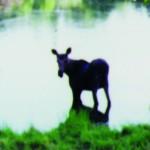 972 Moose