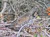 Male Dusky Grouse-Mt. Spokane-10-01-2009