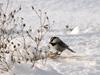 359-Mountain Chickadee-Okanogan Highlands-02-03-2009