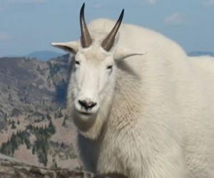 A Mountain Goat on Scotchman Peak