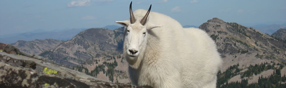 A Mountain Goat on Scotchman Peak