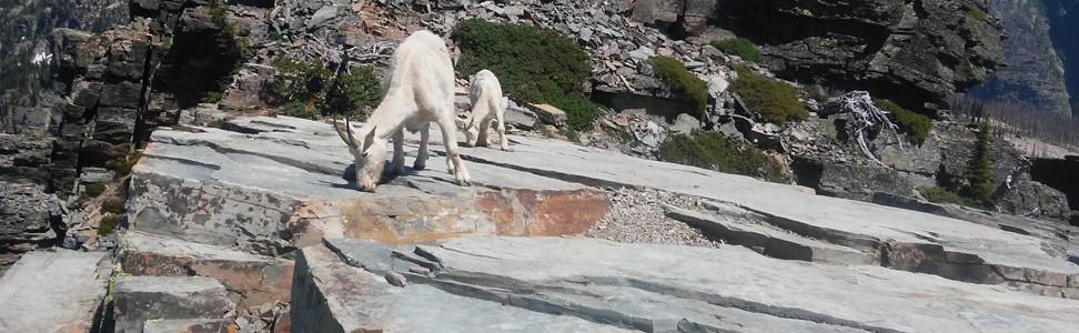 Salt Blocks and Goats