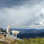 Pretty goat972