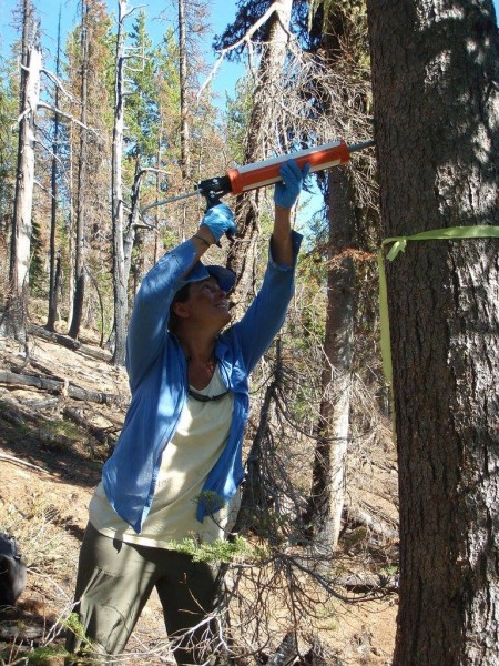 FSPW volunteer Kate Walker applies verbenone to a whitebark pine tree.