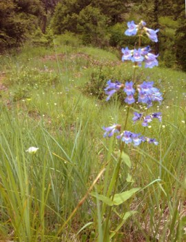 Wild Flowers on Star Peak Historic Trail are in full bloom right now
