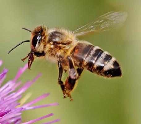 honeybee-full