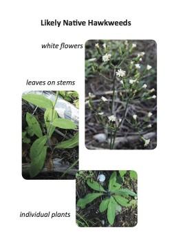 one variation of hawkweed